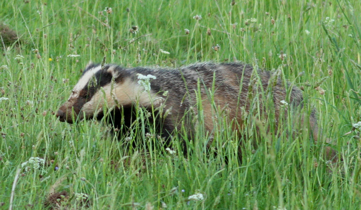 Badger resize