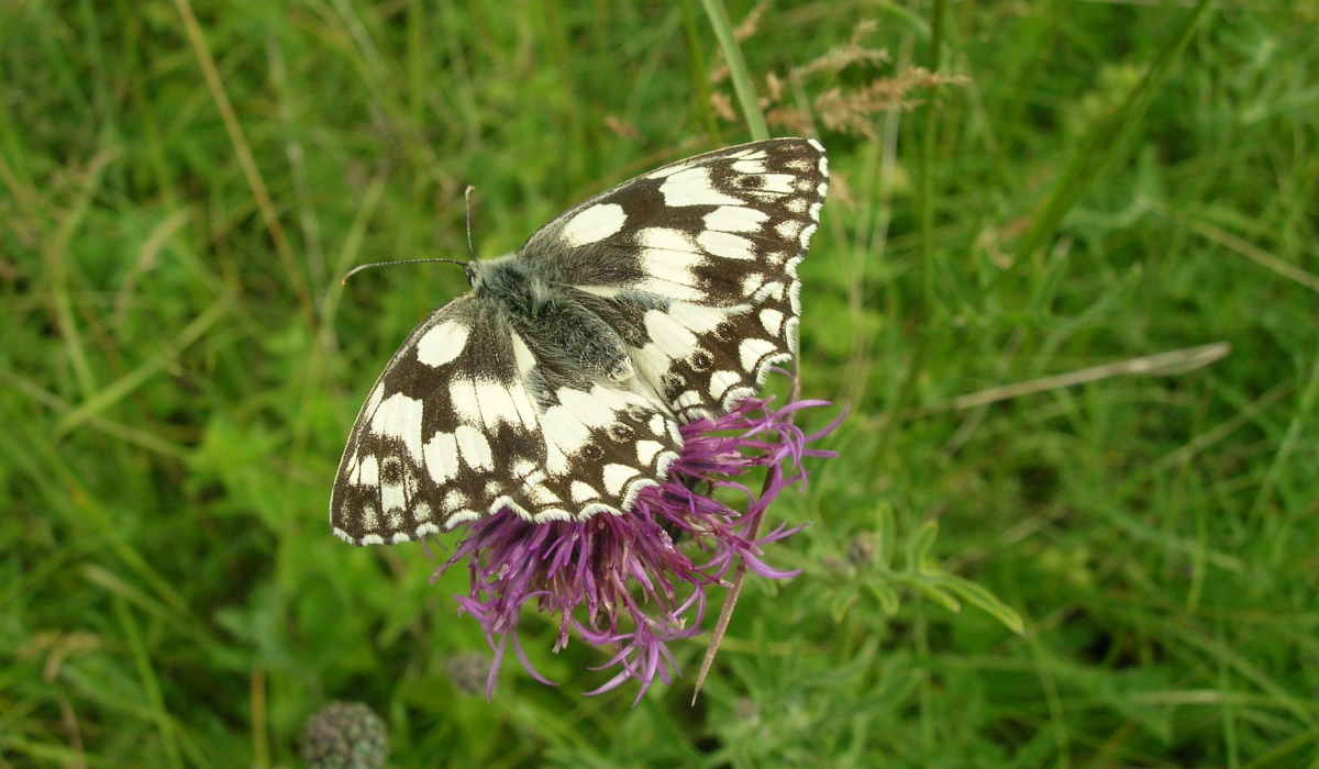 Marbled white resize